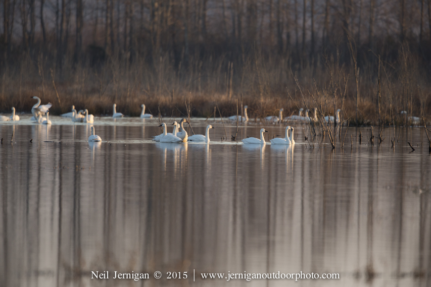 Swans in impoundment