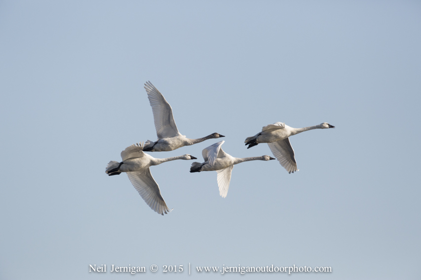 Flock of Tundra Swan