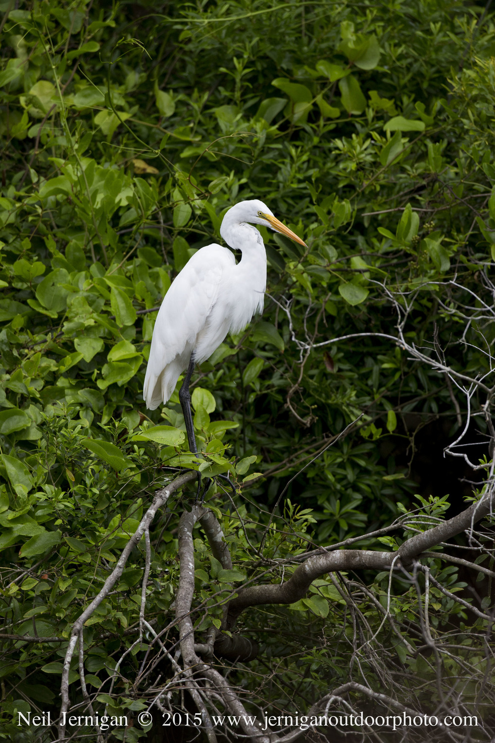 This great egret also had a nest in the colony.
