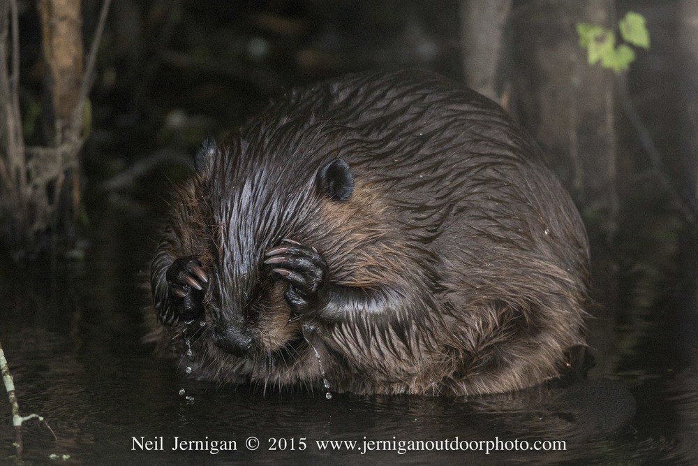 This beaver was cleaning its fur in the edge of a canal.