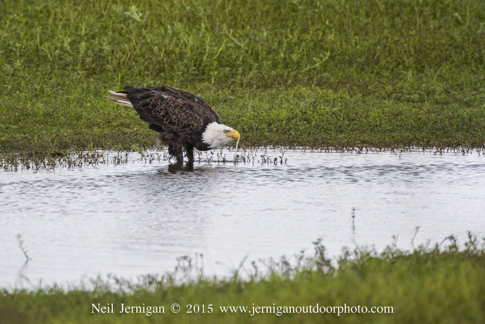 Bald Eagle drinking.