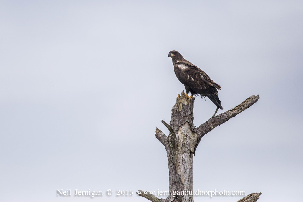 Immature Bald Eagle resting atop a dead pine tree.