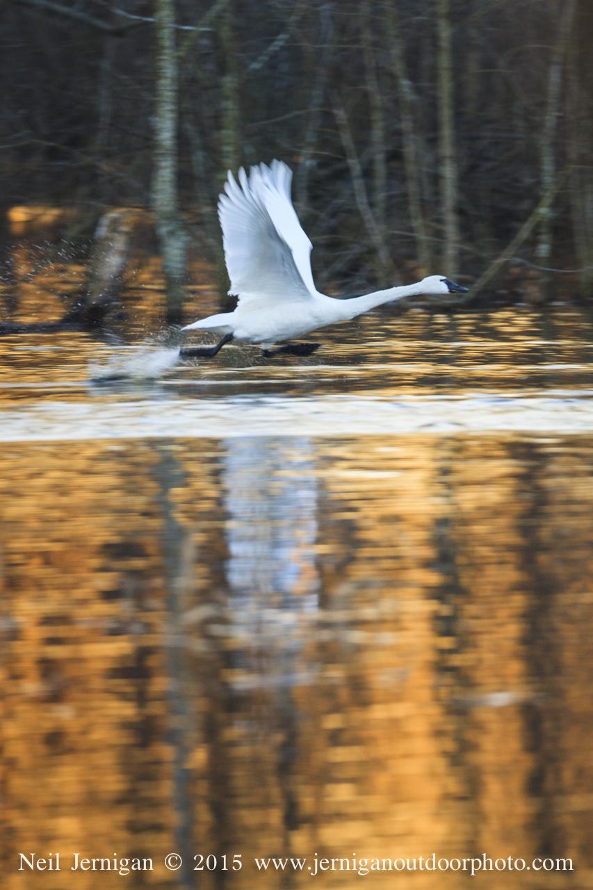 Tundra Swan taking flight in the beautiful morning colors.