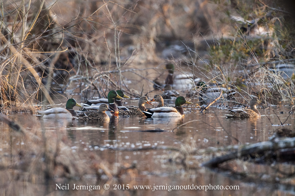 Flock of mallards in the early morning light.