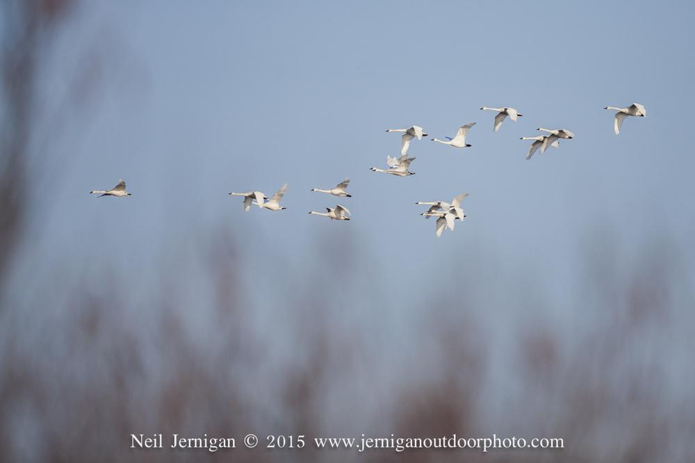 Flock of Tundra Swan flying towards a cut corn field.