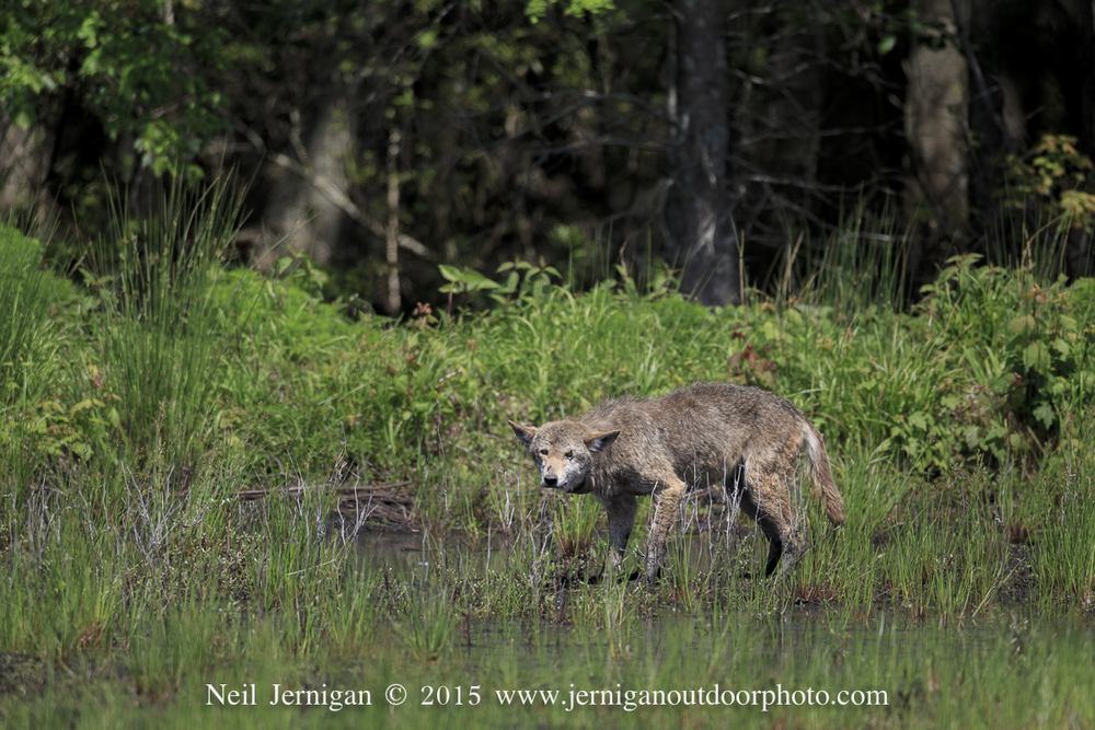 Red Wolf near Lake Mattamuskeet