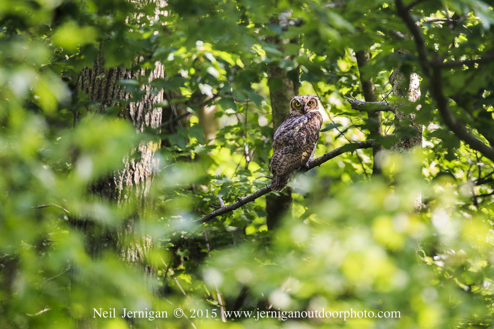 Great Horned Owl at Pocosin Lakes