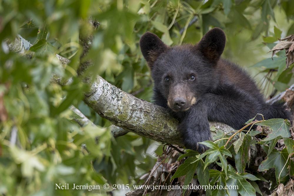 Bear cub resting on tree limb