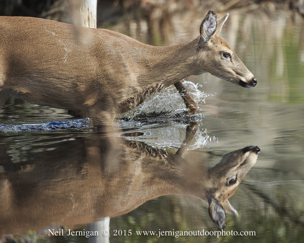 Whitetail Doe crossing a swamp