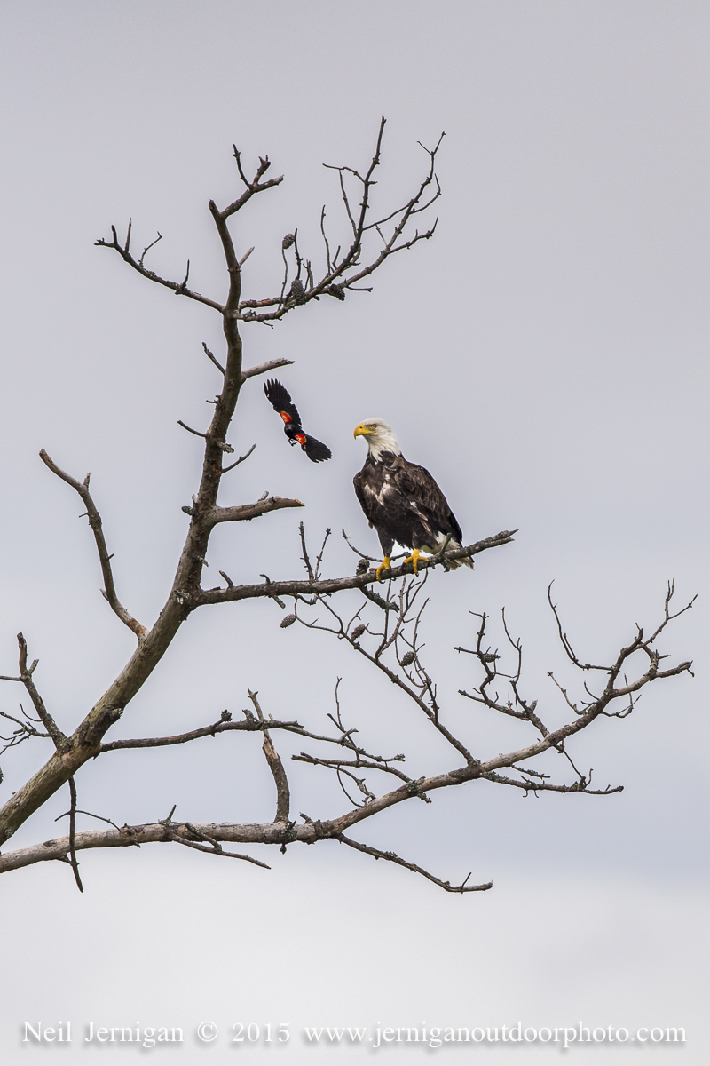 Red Winged Black Bird and Bald Eagle
