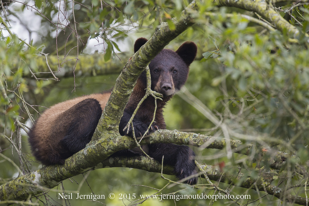 Young bear resting on tree limb