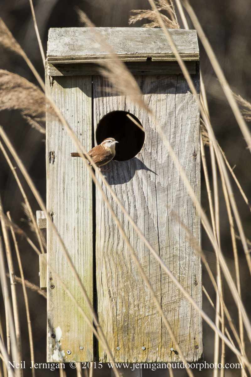 Carolina Wren on wood duck box
