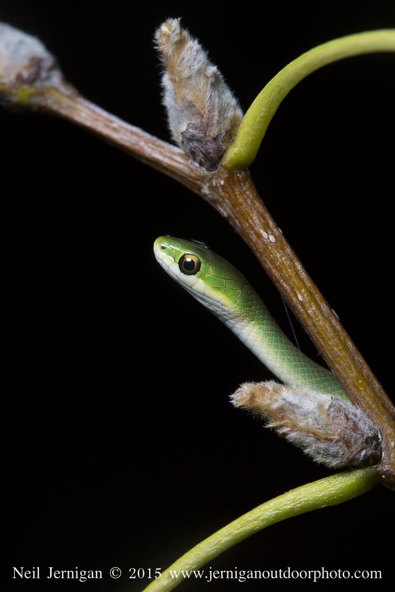 Green Tree Snake mimicking a leaf stem