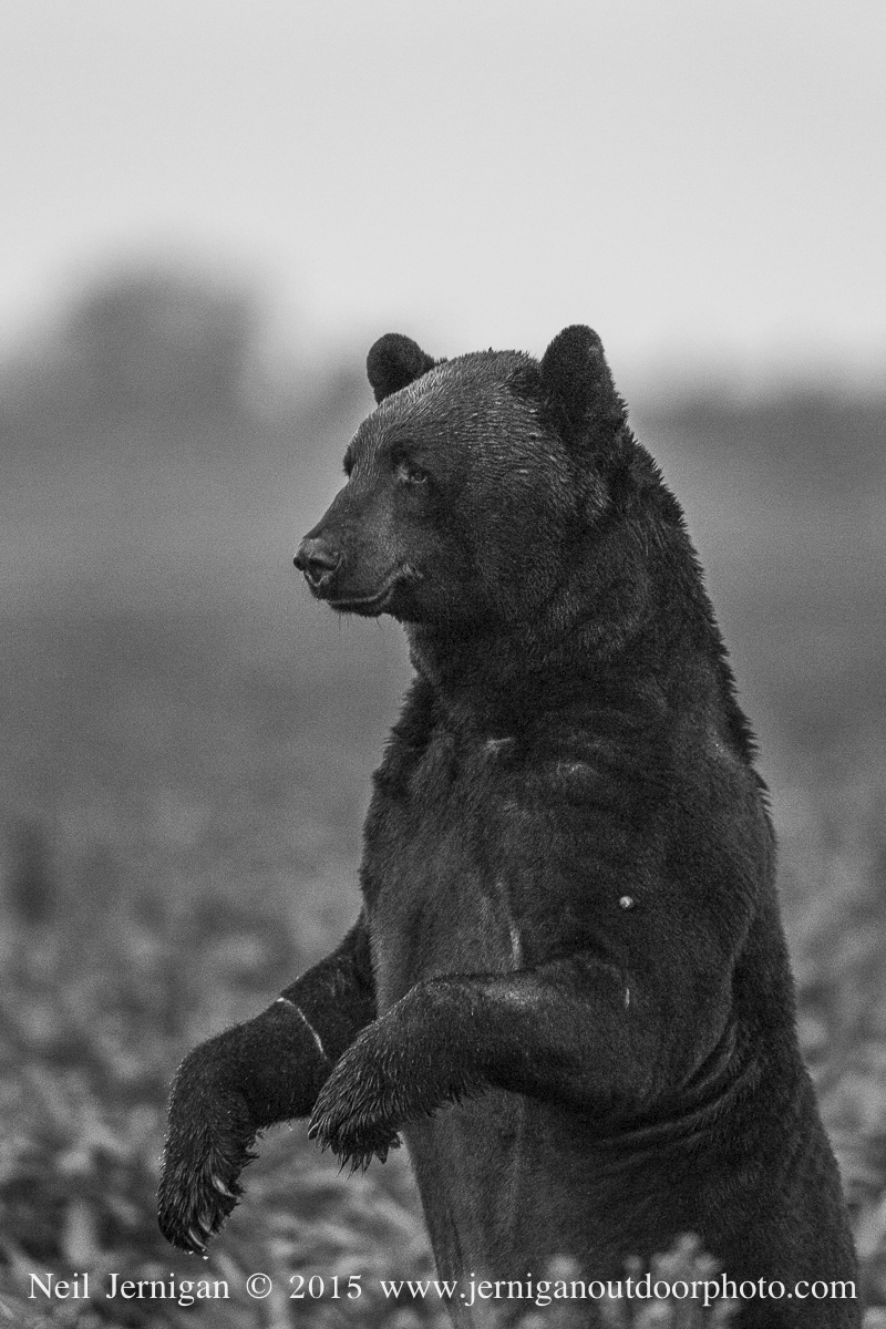 Old black bear standing