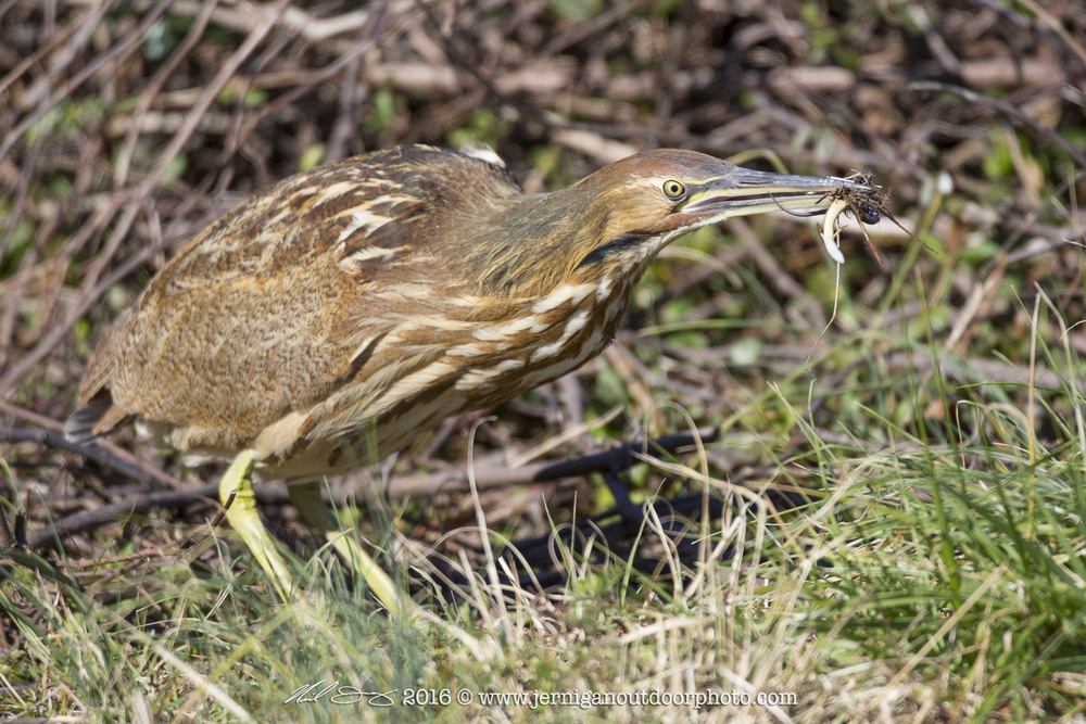 American Bittern after catching a small lizard