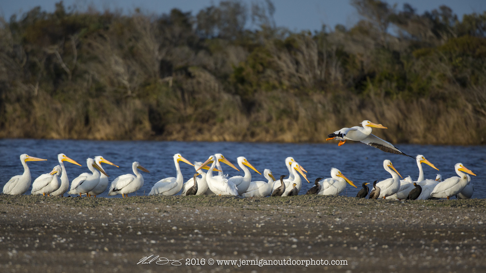 Large pod or flock of White Pelicans