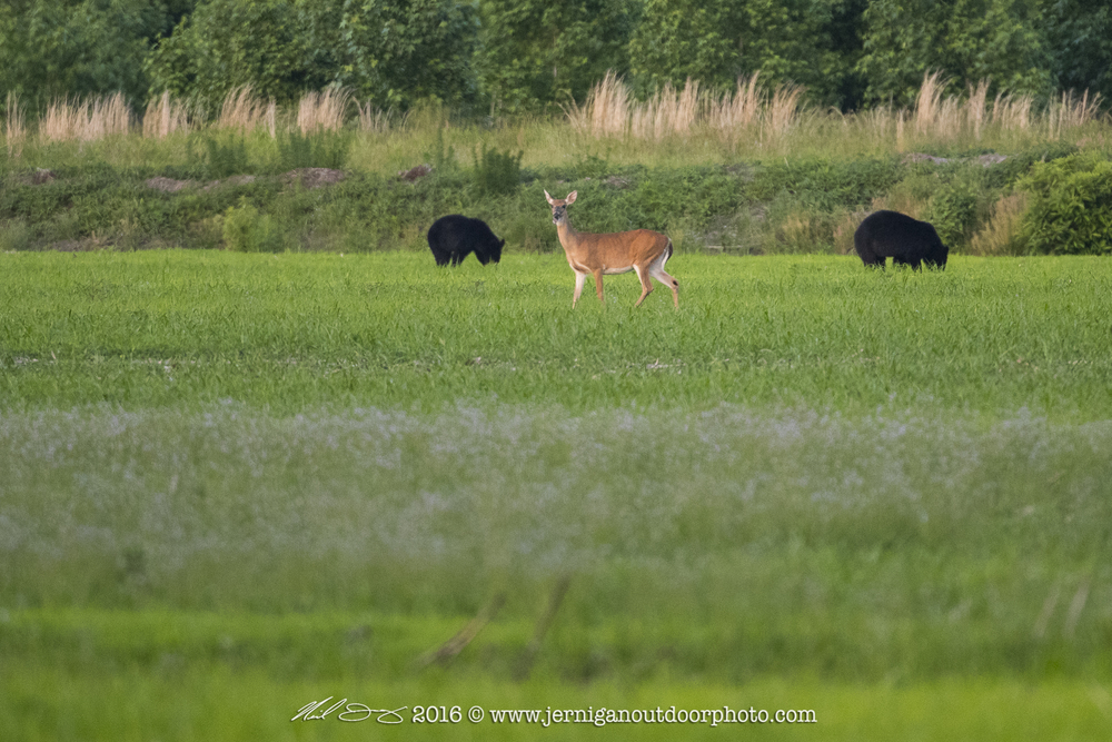 Whitetail Doe in close proximity of 2 black bear