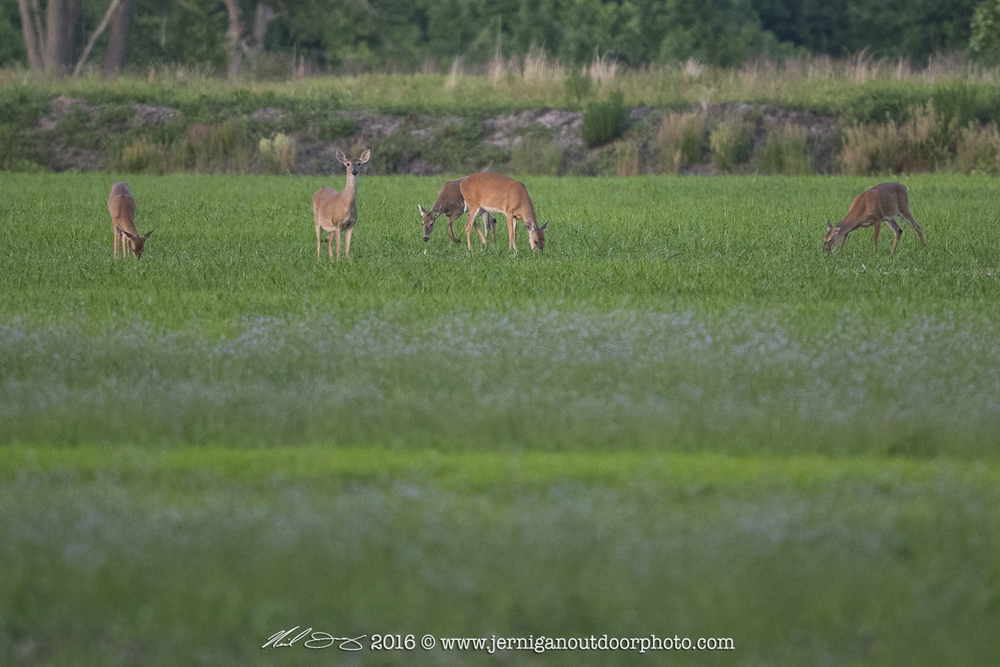 Small herd of whitetail deer