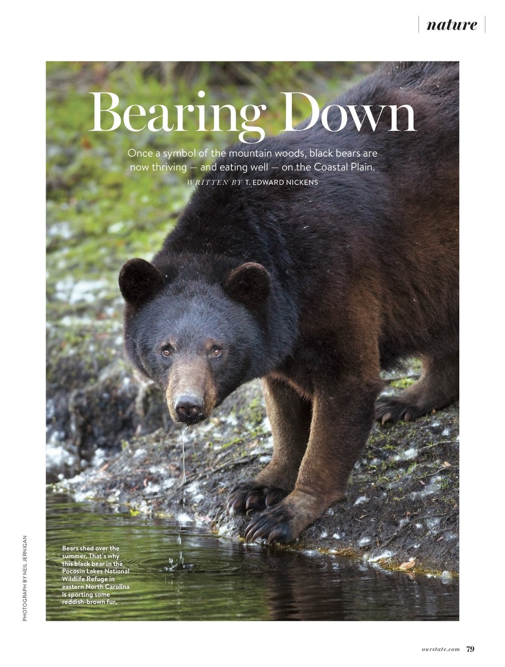 October Issue: Image a Black Bear drinking on the Pocosin Lakes NWR