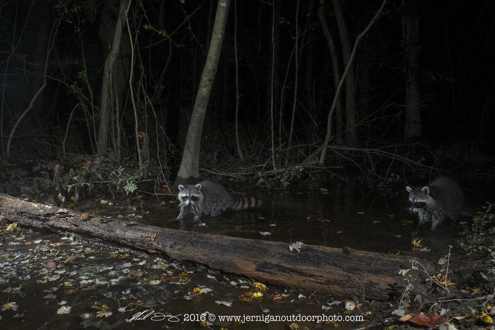 Pair of raccoons fishing up stream