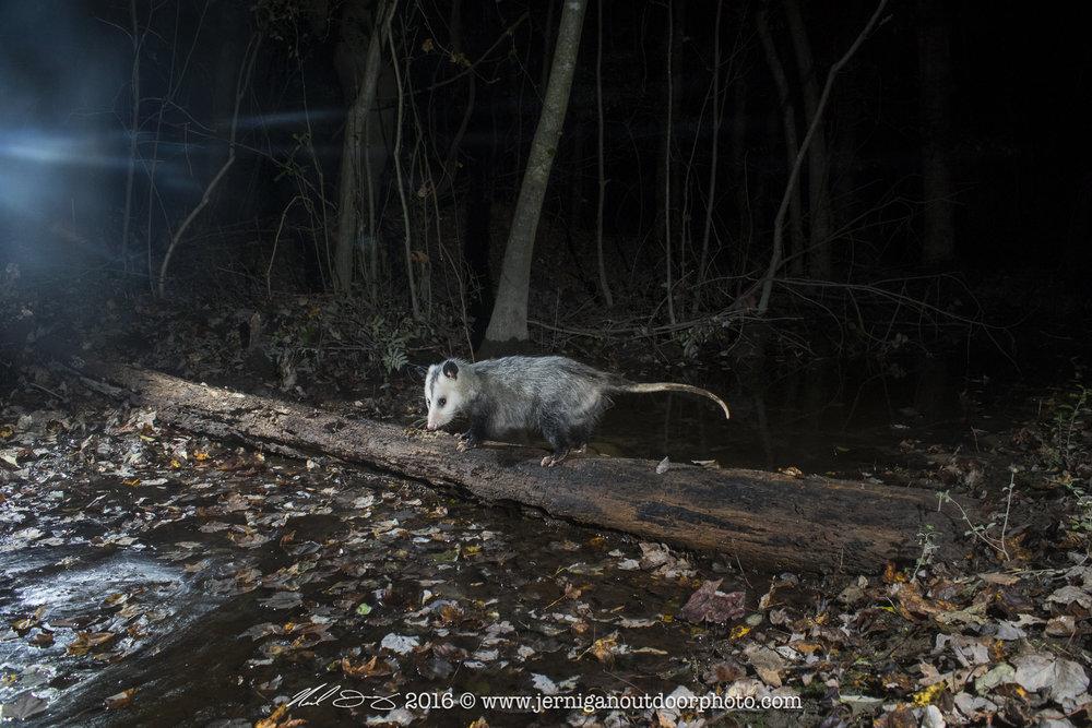 Opossum crossing the log.