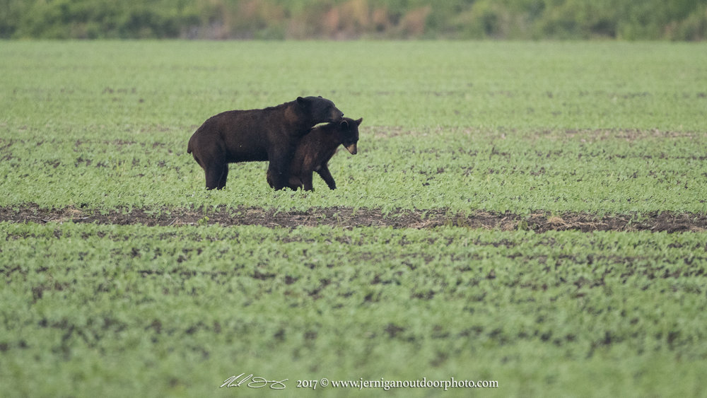 "Summer is also mating season for the bear. This image shows a male & female ""courting"""