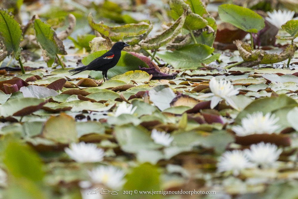 Red winged black bird searching for small insects on the water lilies.