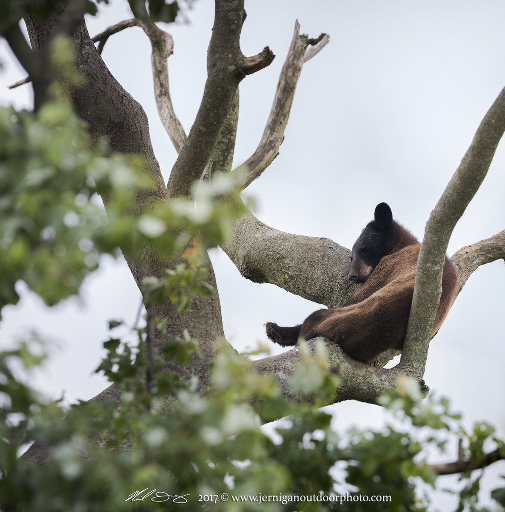 Black bear asleep in tree