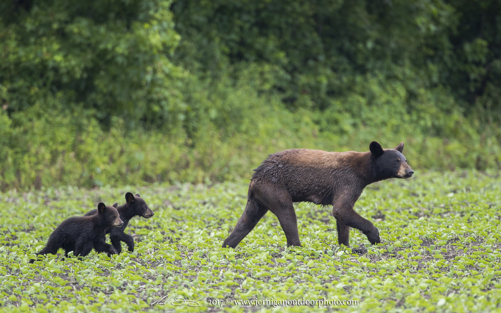 Sow with two cubs born earlier in the year