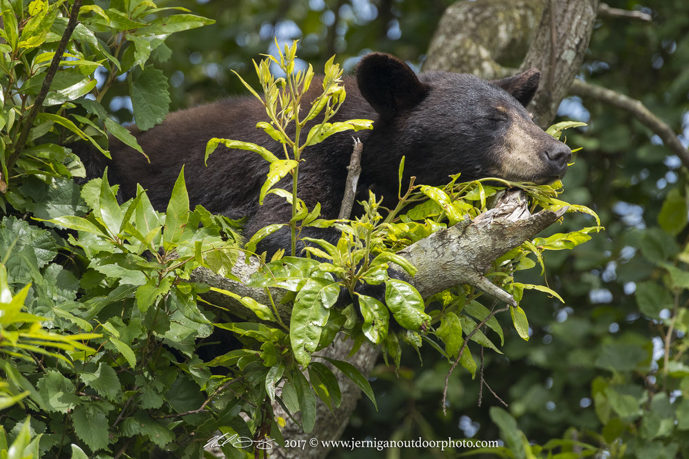 Bear asleep in tree