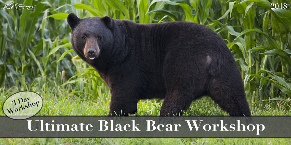 2018 Ultimate Black Bear Workshops :FULL