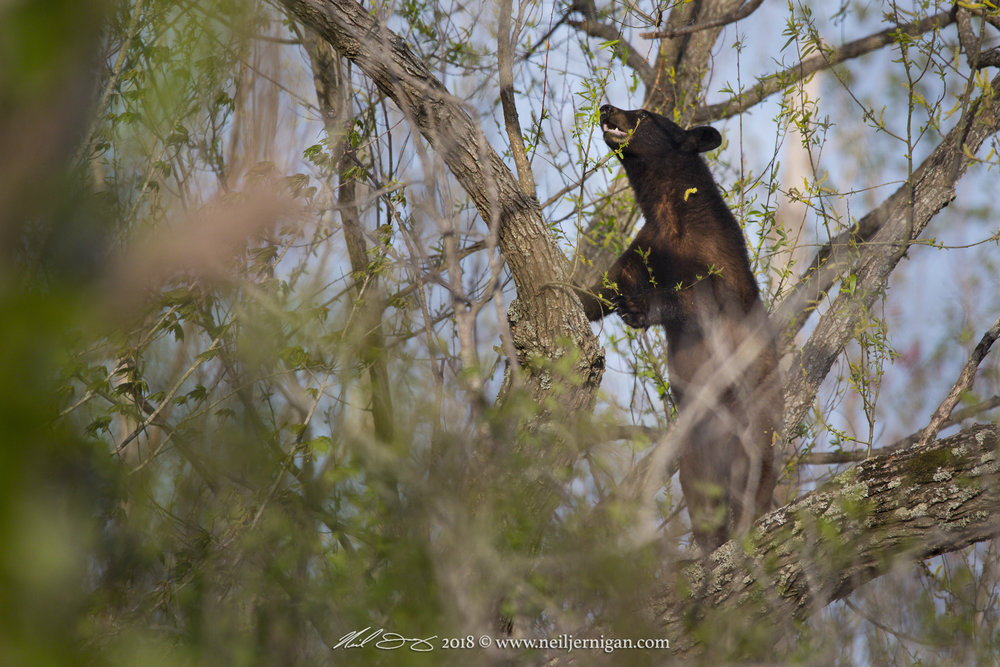 Bear forarging for fresh green leaves.
