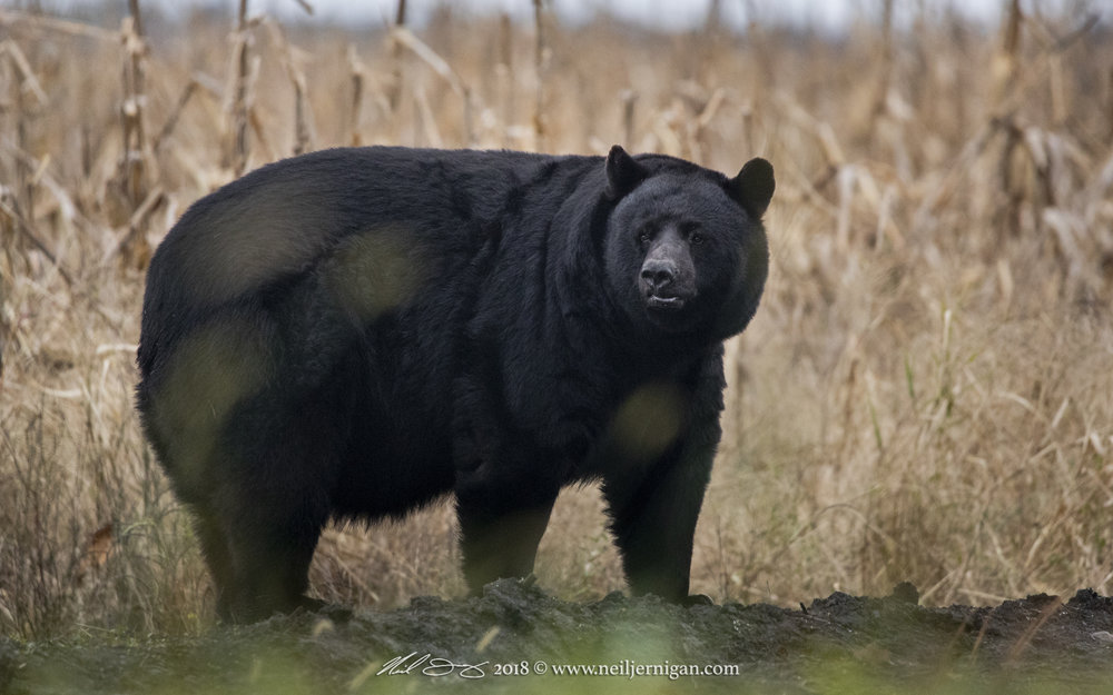 NC Black Bear