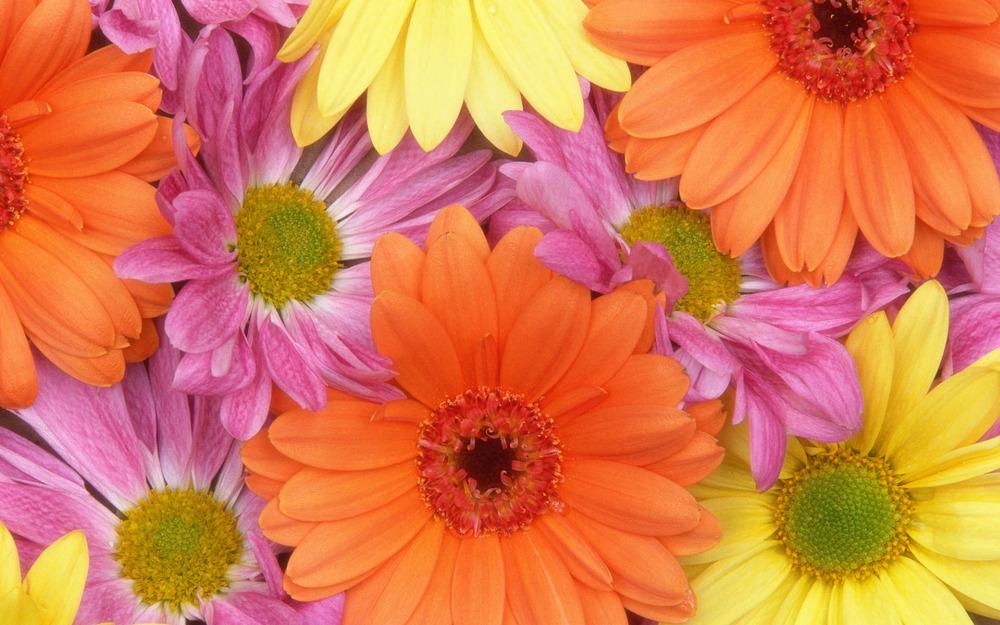 fresh_daisies-wide.jpg