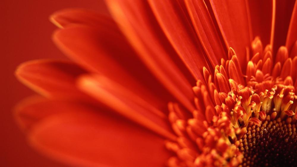 red_gerbera_daisy-HD (1).jpg