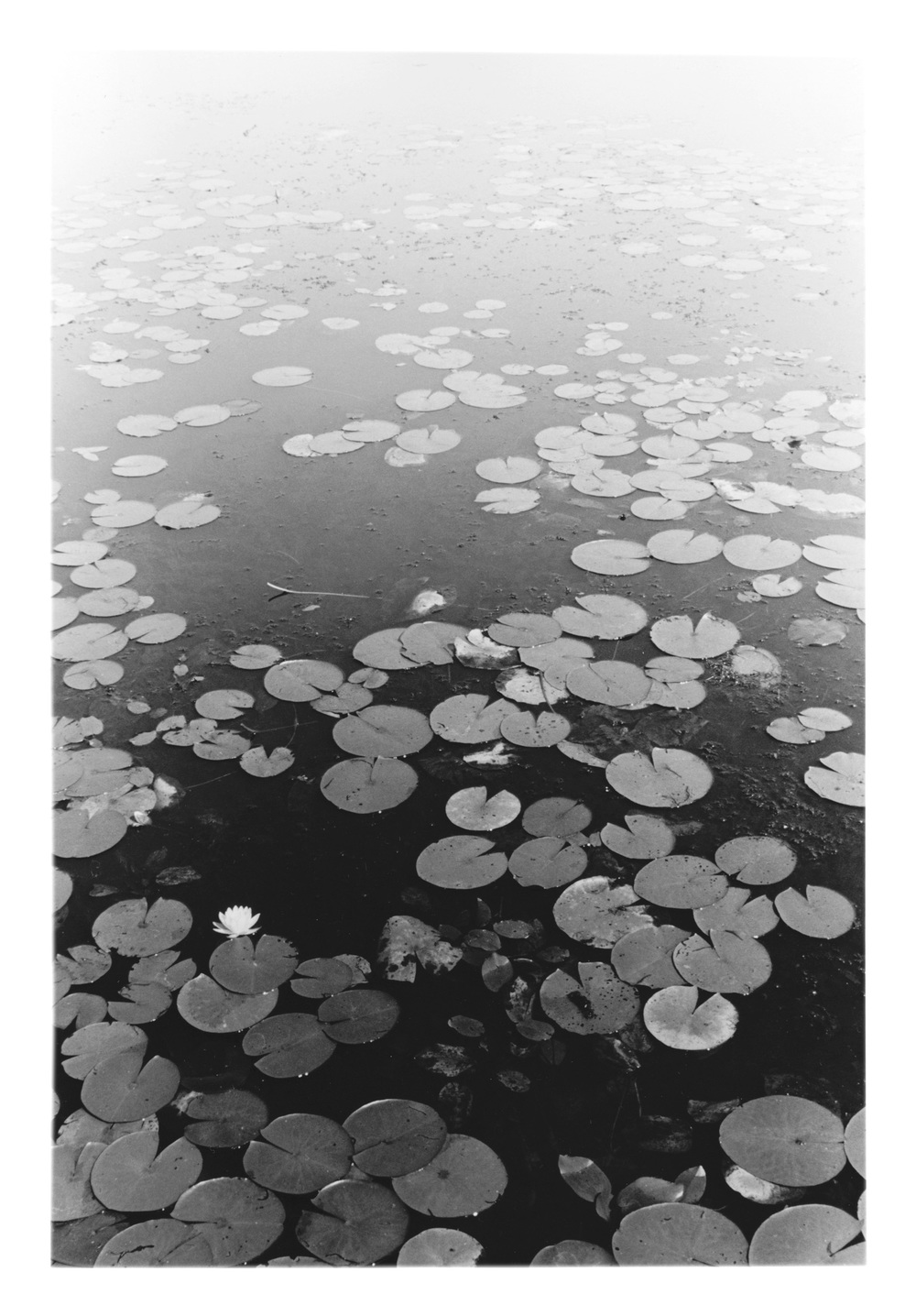 Coy Pond Lillies.jpeg