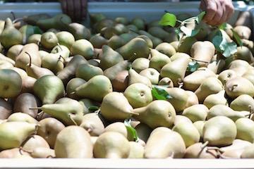 California Pear Farm in Sacramento, California. July 2016