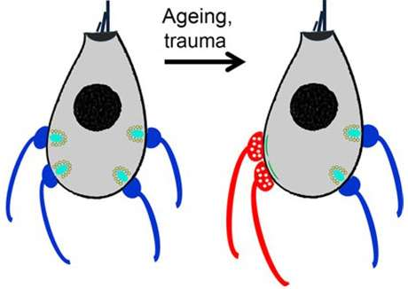Mature hair cells (left) have less connections to outgoing neurons (blue) and more to incoming neurons (red) with age (right) Credit: Paul Fuchs, Johns Hopkins Medicine
