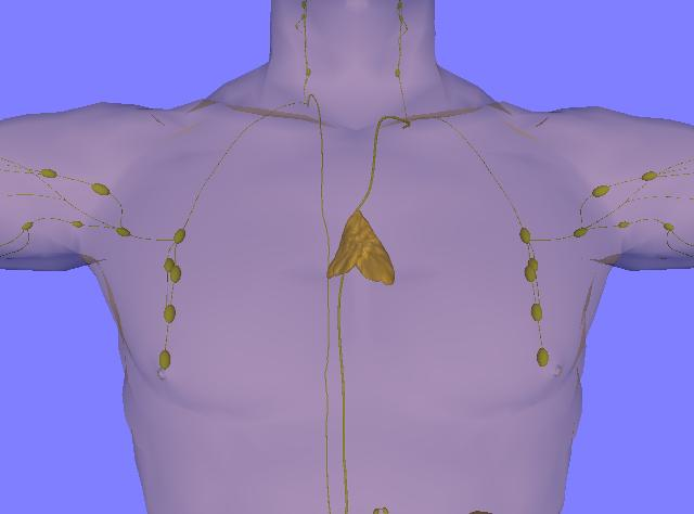 Anterior view of the thymus gland, an organ of the lymphatic system. Credit: Wikimedia