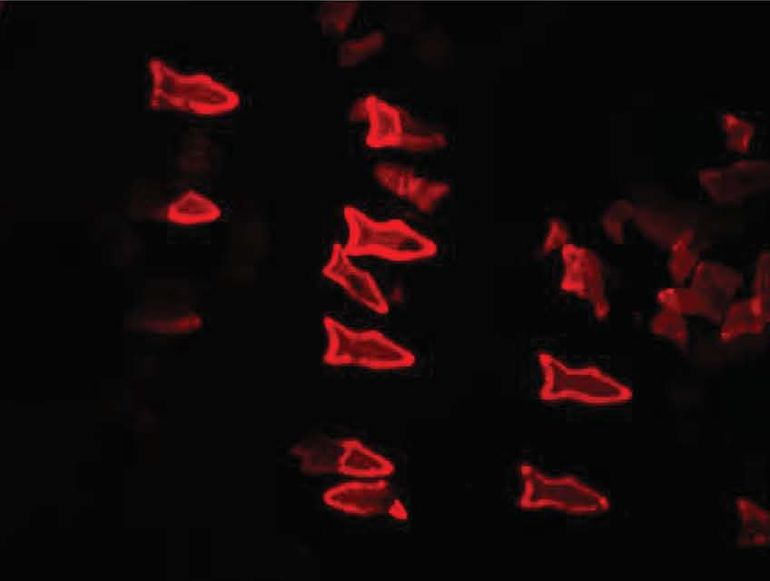 PDA nanoparticles in the microfish bodies bind with toxins, the microfish turn fluorescent red (Credit: W. Zhu and J. Li, UC San Diego Jacobs School of Engineering)