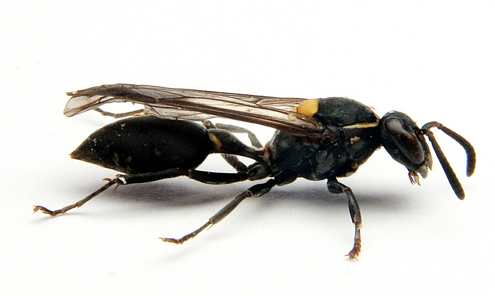The brazilian wasp Polybia Paulista Credit: Prof Mario Palma