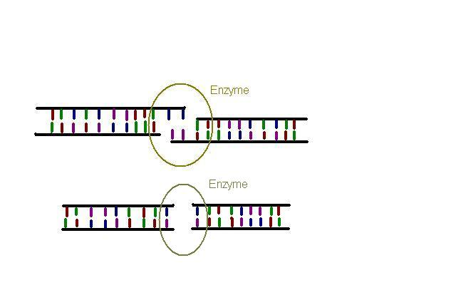 The older Cas9 enzyme cuts DNA bluntly (below), but Cpf1 leaves 'sticky', overhangs (above). This makes mutations harder, and inserting new sequences easier.