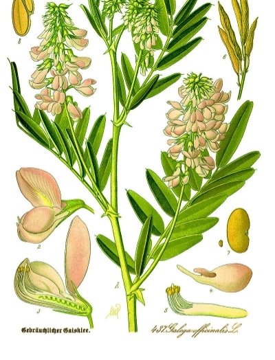 The diabetes drug Metformin was first isolated from french lilac,Galega Officinalis.