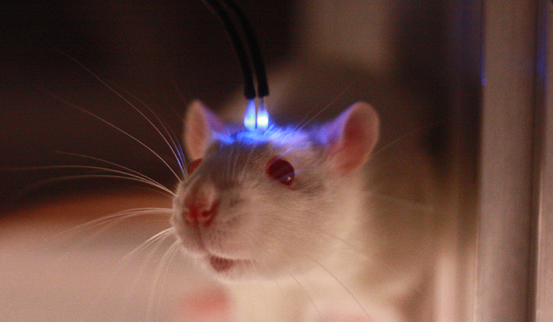 A mouse being tested with an optogenetics system
