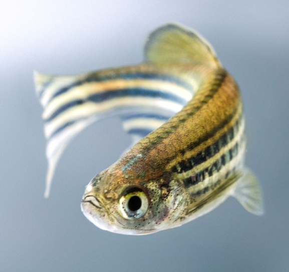 These genes are conserved from zebrafish to humans