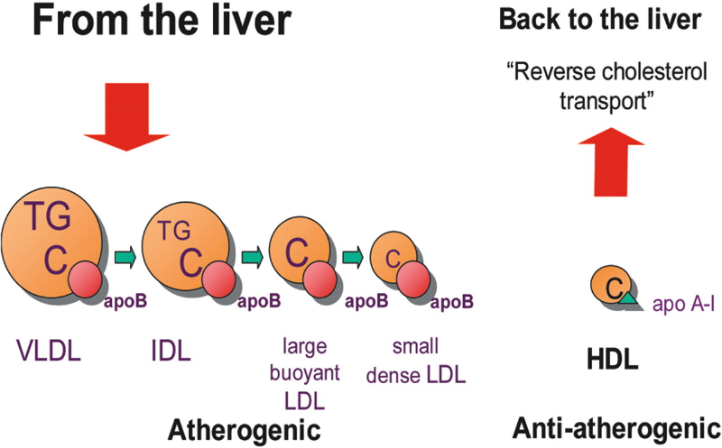 Low density lipoproteins are essential for transport of fats (left), but they're also atherogenic in certain conditions
