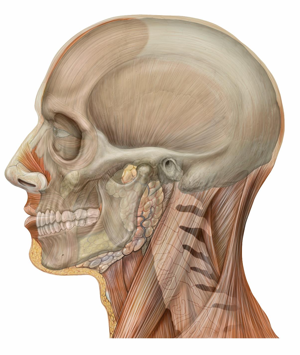 Stem Cells Discovered That Can Repair Facial Bones Longevity Reporter