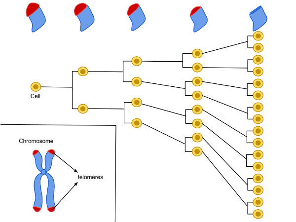 Every time a cell divides, a section of the telomere caps is eroded. Stem cells can repair some of this damage, but not perfectly