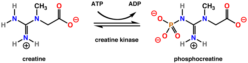 In humans creatine kinase converts creatine to phosphocreatine
