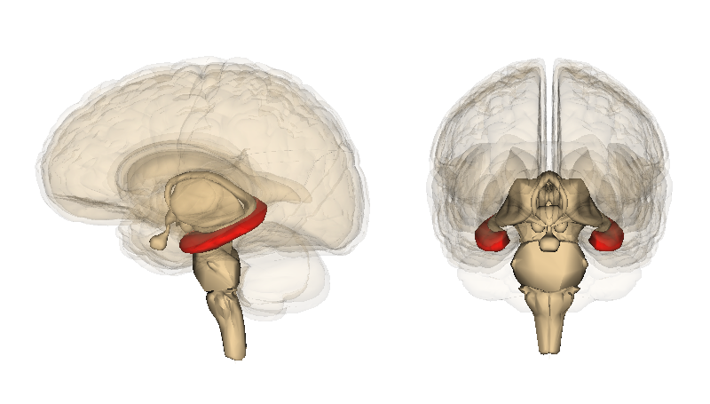 The hippocampus (red) is an important therapeutic target and its function declines as you age